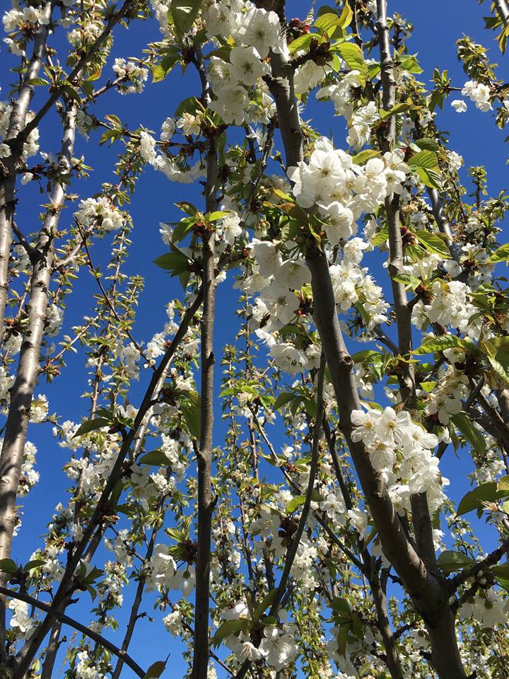 Beautiful blossoms on the cherries.