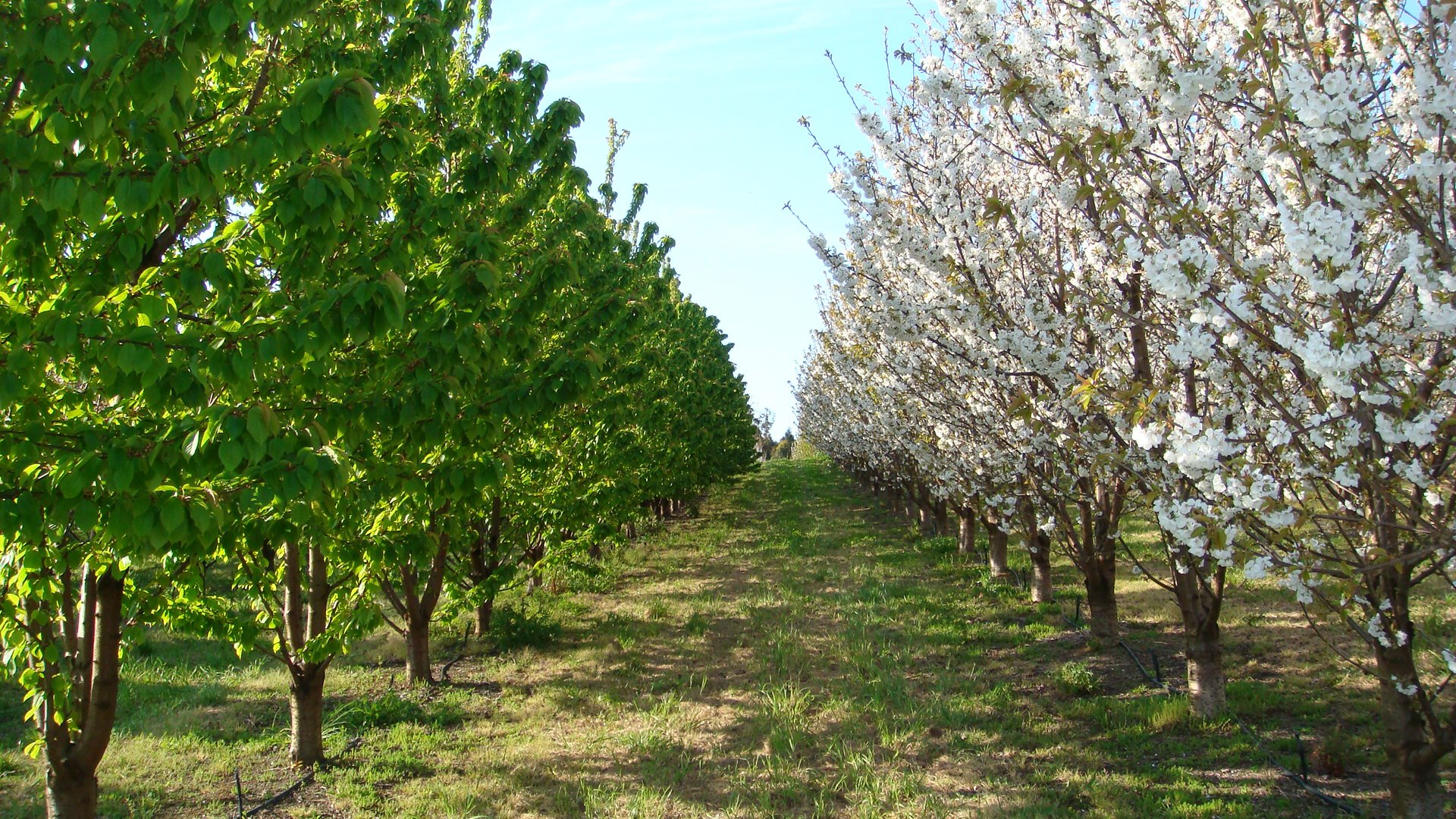 Early variety of cherries in blossom.